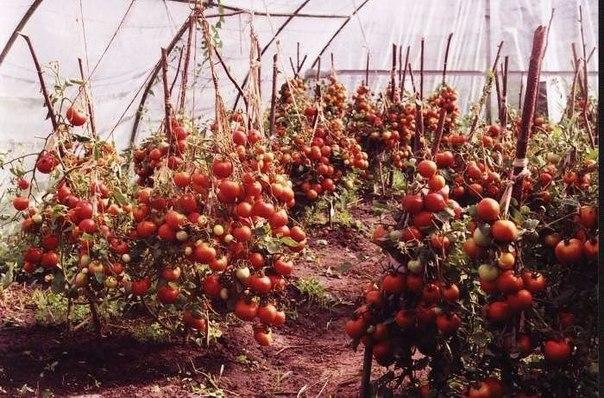 60 томатов с одного куста Это реально!