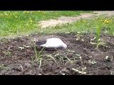 Белый голубь, июнь 2018, Омск