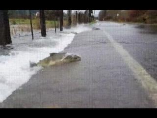 Рыбы переплывают автомобильную дорогу.😃