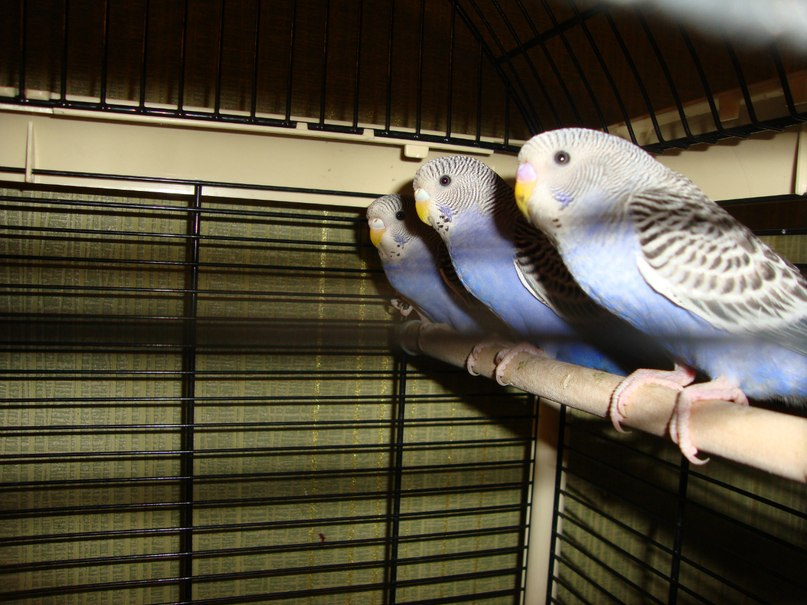African grey parrots for adoption picture