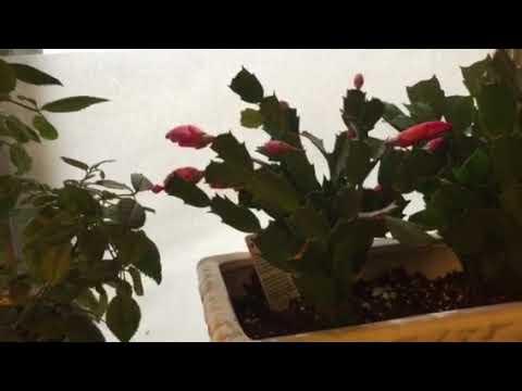 Как сделать чтобы декабрист зацвёл и не ронял бутоны И про лекарство от вредителей растений