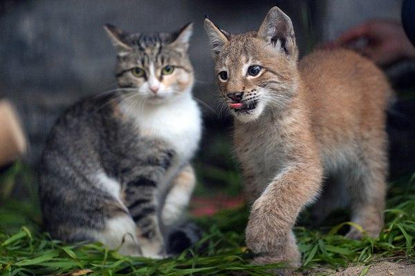 В зоопарке Новосибирска домашняя кошка выкормила рысь
