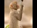 Мартышка и зеркало