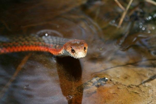 Великолепная австралийская медноголовая змея (Austrelaps superbus)