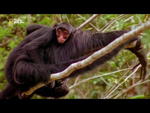 Nat Geo Wild Малыши экстремалы Выжить в Амазонии 1080р