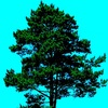 Pinus Nigra Records