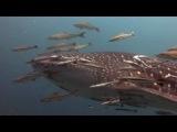 Ко Тао. Дайвинг. Китовая акула.