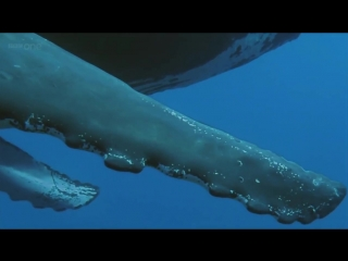 Humpback Whales - BBC documentary excerpt