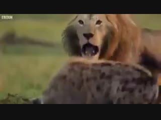 Без твоего брата гиены возьмут тебя, даже если ты лев