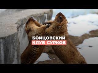 Бойцовский клуб сурков