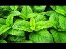 Мелисса в народной медицине Полезные лечебные свойства сборы чай из мелиссы