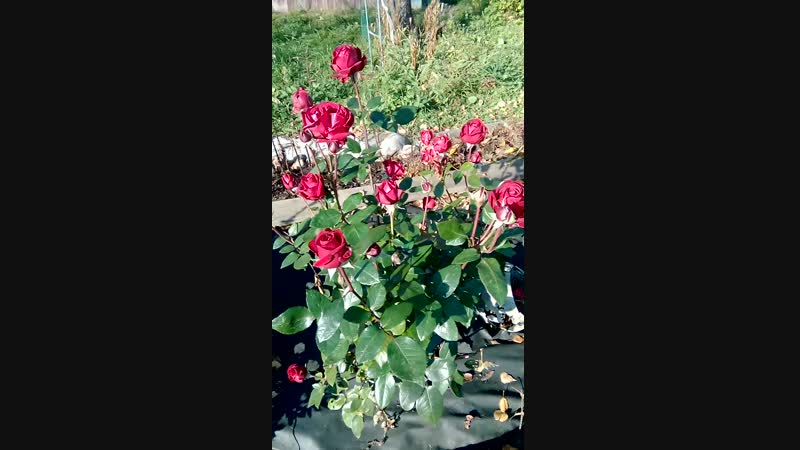Красивые розы пышно цветут 1910 2018