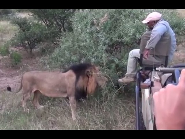 Lion sniffs at Trackers feet ! Greater Kruger National Park