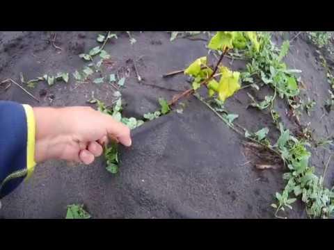 Моя мини плантация смородины Результат применения АГРО ткани