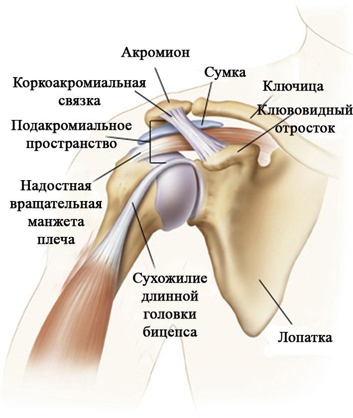Костная анатомия плечевого сустава ломота суставов увеличение лимфатических узлов