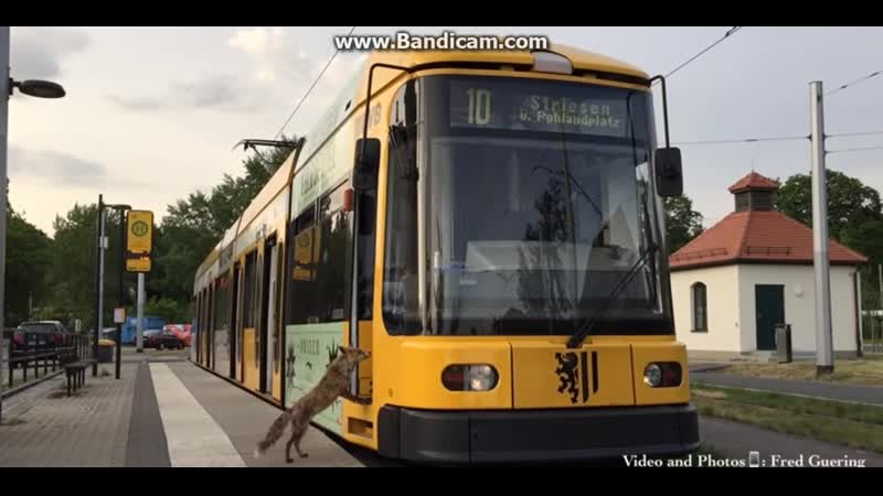 Cute story: tram and fox. Dresden, Germany