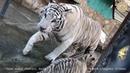 Семья белых бенгальских тигров. Тайган. Крым | White Bengal Tiger Family