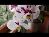 Phalaenopsis Ever Spring King × Musashino MXS045