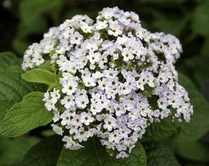 Ароматный цветок гелиотроп: сорта и разновидности. Настоящим украшением клумбы на садовом участке может стать яркое и красивое растение гелиотроп. Этот многолетний кустарник с красивыми