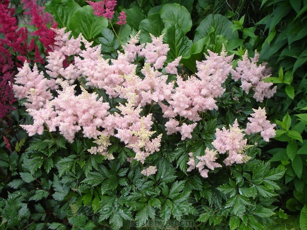 Какие цветы посадить в тени Тенелюбивые садовые растения отличаются от светолюбивых тем, что они более декоративны в тени. Большинство тенелюбивых не щедро цветут, хотя можно найти и
