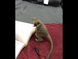 A bushbaby (galago) helps with homework