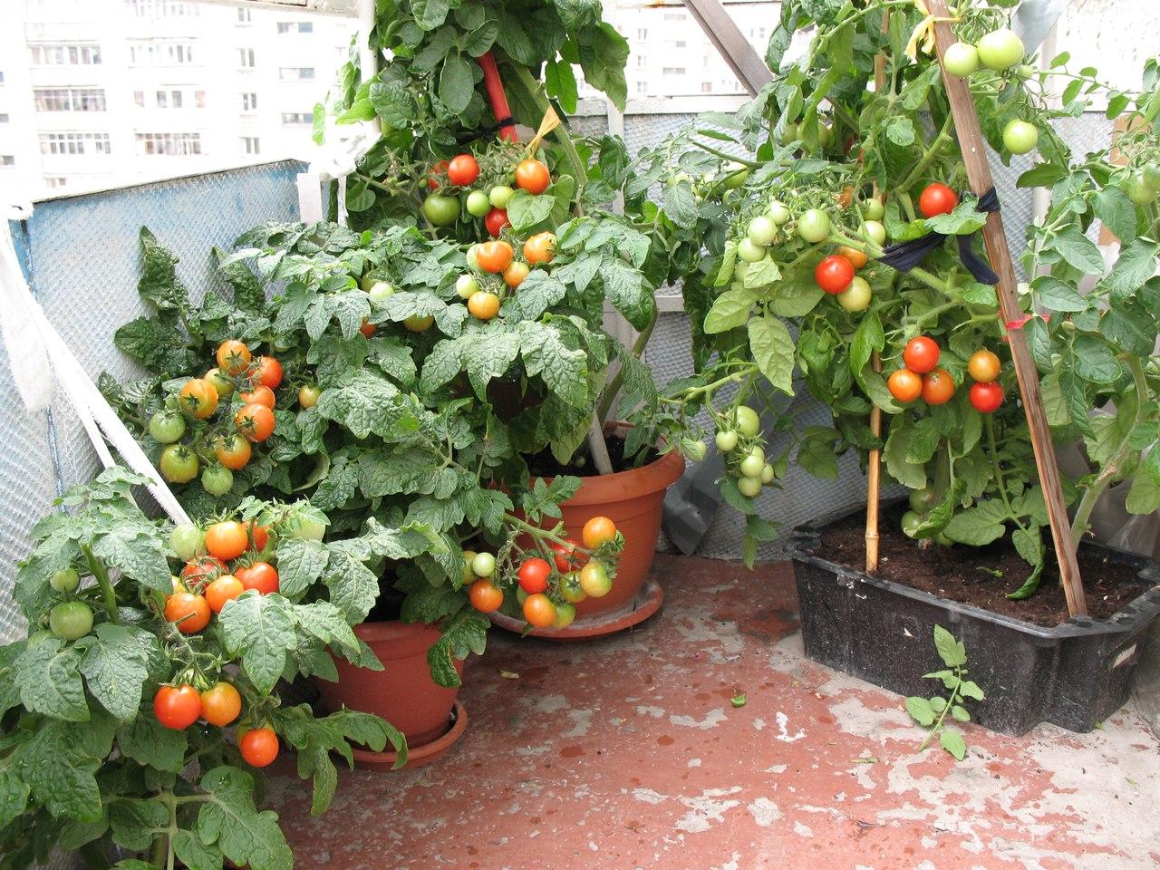 Отзывы о сортах помидоров которые можно вырастить на балконе.