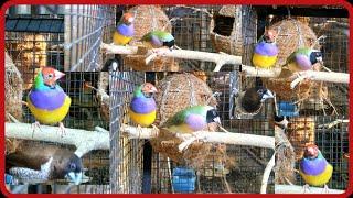 Gouldian Finch || tricolour munia ||(hybrid) fight for nesting.