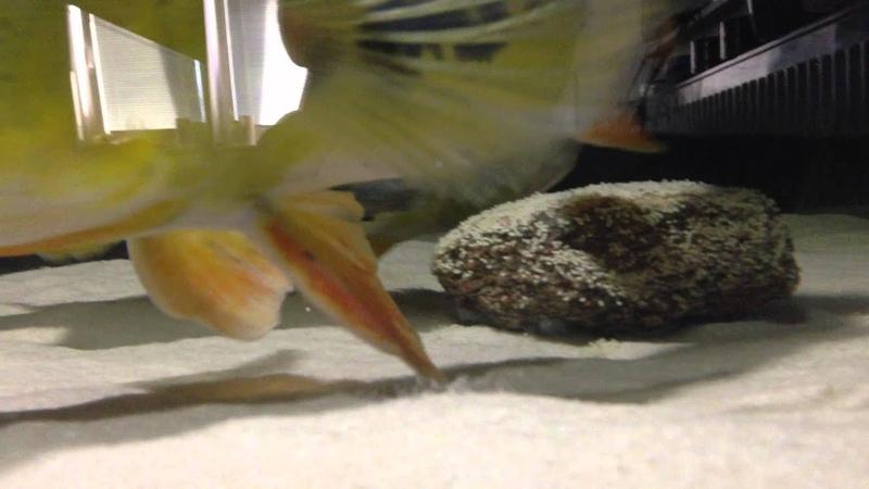 Peacock Bass Cichla Monoculus