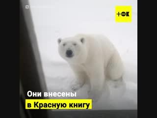 Нашествие белых медведей