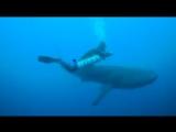 Встреча с китовой акулой