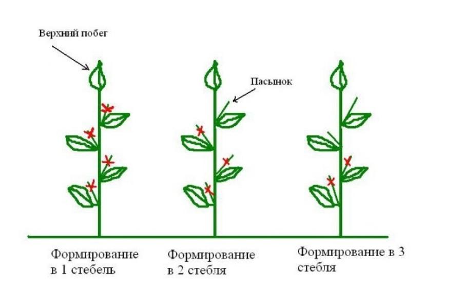 Георгины клубневые, посадка, уход, формирование