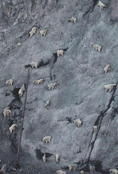 Вы вообще когда-нибудь задумывались о горных козлах? КАК?! КАК ОНИ ЭТО ДЕЛАЮТ?! МАЛЕНЬКИЕ ИСЧАДИЯ АДА
