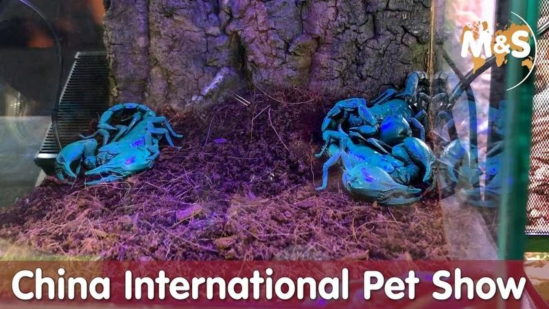 In China schimmern die Scorpione blau China International Pet Show CIPS 2018