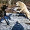 Булли Кутта в России (бойцовые собаки)