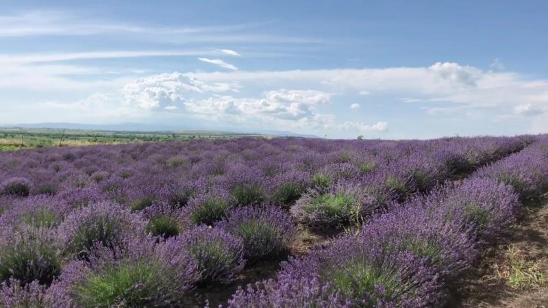 Плантация Nukriani Lavender 🇬🇪