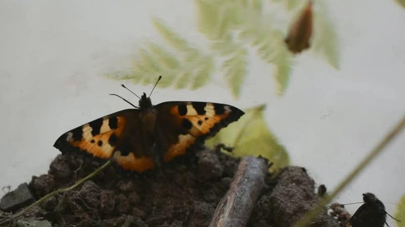 Бабочки Крапивницы. Выведение в домашних условиях