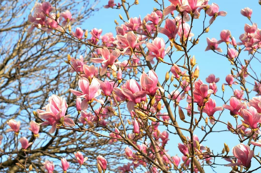 фото цветущей магнолии в краснодаре фото фронтмен