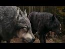 Клип про волков