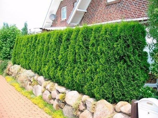 12 советов по выбору растений для живой изгороди одним из способов укрыться от любопытных глаз соседей может быть установка живой изгороди. отсюда возникает вопрос как это сделать.1. чтобы