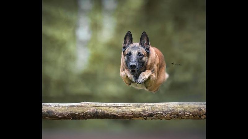 Malinois - Belgian shepherd - Master of the jump - Le maitre du saut