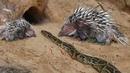 Питон против дикообраза