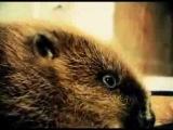 Бобер по имени Семен. Domesticated beaver.