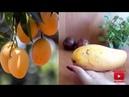 Манго из косточки Как посадить дома Вырастить mango Уход Советы Особый способ Петуния