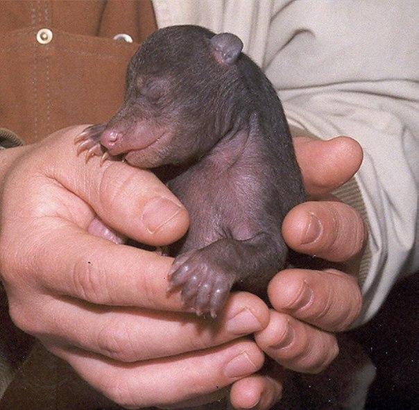 Новорожденный медведь.