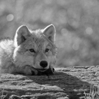 Lone Wolf, 24 октября , Лиски, id219572322