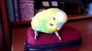 Любимые места попугая ТОШИ РЕАКЦИЯ ПОПУГАЯ НА КАМЕРУ зеленый попугайчик TV