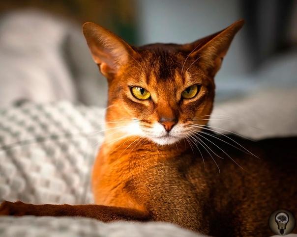 Абиссинская кошка. Абисси́нская кошка - порода домашних кошек, выведенная в Великобритании в конце девятнадцатого века на основе аборигенных пород кошек Африки и Юго-Восточной Азии. Абиссинская