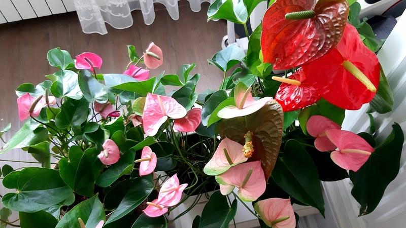 Как поливать антуриумы,чтобы они цвели постоянно❤👍