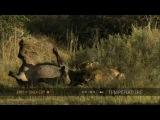 Лев сносит буйвола с удивительной легкостью (Lion takes down buffalo with surprising ease)