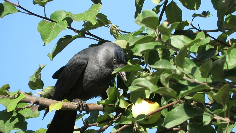 Галка клюет яблоко MVI_0978